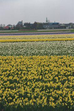 around Lisse, The Netherlands