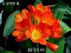 군자란(Clivia miniata, 君子蘭)을 소개합니다. 꽃말은 '고귀, 우아' 라고 하네요.남아프리카 원산