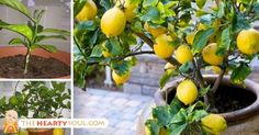 How To Grow An Unlimited Supply Of Lemons Using Just 1 Seed : The Hearty Soul
