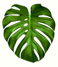 Big green leaf of Monstera plant, isolated on white. Big green leaf of Monstera plant, isolated on w Big Leaves, Green Leaves, Plant Leaves, Monstera Leaves, Leaf Drawing, Plant Drawing, Drawing Drawing, Tropical Art, Tropical Leaves