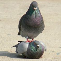 Funny pictures about King pigeon. Oh, and cool pics about King pigeon. Also, King pigeon photos. Funny Animal Memes, Funny Animals, Cute Animals, Funny Birds, Funny Humor, Funny Stuff, Animals And Pets, Baby Animals, Party Animals