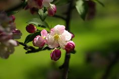 Nature, Spring, Cherry Blossoms