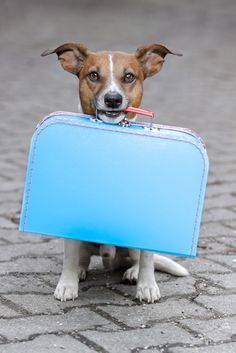 Do you travel with your dog? Traveling With Your Dog, Rob Toledo http://www.keepthetailwagging.com/guest-post-useful-tips-for-traveling-with-your-dog/ #travel #dog #tips