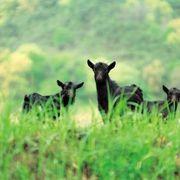 Grants for Raising Goats | eHow