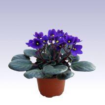 Fokföldi ibolya kék, Saintpaulia ionantha 10 cm magas 11cs Saintpaulia, Plants, African Violet, Plant, Planets