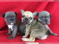 Französische Bulldoggenwelpen in der Farbe Blau - http://www.tier-kleinanzeigen.com/ads/franzoesische-bulldoggenwelpen-in-der-farbe-blau/