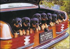 puppies in the trunk