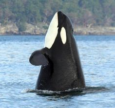 Granny- J pod- 104 years old. Nominated for honorary Mayor of Orcas Island this year!