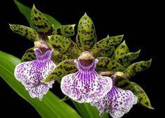 Фото Зелёно-фиолетовые орхидеи на чёрном фоне