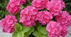 La hortensia es un arbusto caducifolio de climas con inviernos suaves, como la zona atlantica de españa, perteneciente a la familia de las...