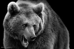 Black and white animal portraits: Bear