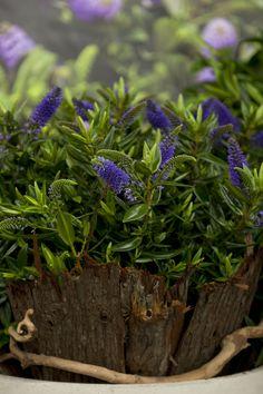 Hebe addenda Garden, Summer Garden, Garten, Gardens, Tuin, Yard