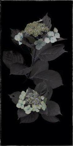 "Flowers In Neutral Moment-2 ""Hydrangea"" Archival pigment print Photo by Soichi Oshika"