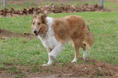 Collie dog for Adoption in Stafford, TX. ADN-483895 on PuppyFinder.com Gender: Male. Age: Adult