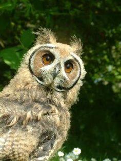 Owlet rayado mexicano.