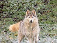 http://desespritsduloup.chiens-de-france.com/siberian-husky.html