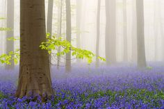 La forêt de Hallerbos se situe en périphérie bruxelloise. Son épais tapis de fleurs de jacinthe donne l'impression qu'elle sort tout droit d'un conte de fées. Photo de Jimmy De Taeye