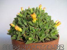 Faucaria britteniae (3с - 35 руб.) :: Купить семена
