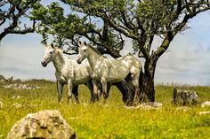 Horse Art, White Horse print, Nature Photography,  Wall Art Print, Fine Art Photography Print 'White horses' Bodmin Moor, Cornwall by AmbiancePhotography on Etsy Farm Photography, Fine Art Photography, Country Decor, Farmhouse Decor, Horse Gifts, Rustic Wall Art, Horse Print, White Horses, Photographic Prints
