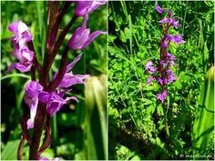 floare mov Clematis, Indigo, Herbs, Plant, Indigo Dye, Herb, Medicinal Plants