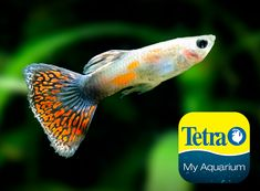 Originally from Central America, green to blue body with an orange tail. Guppies are a hardy, peaceful community live-bearing fish, great for beginners.  Freshwater Top/Mid Feeder Skill Level: Great beginner fish Daily Diet: Tetra® Tropical Flakes Supplement: TetraColor® Tropical Flakes Treats: Tetra® Bloodworms   For more information on fish types and diets visit www.tetra-fish.com or download the free My Aquarium App. Tetra Fish, Aquarium Set, Aquarium Maintenance, Green To Blue, All Fish, Blue Bodies, Palm Of Your Hand, Guppy, Cichlids