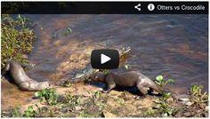 Otters vs Crocodile. Watch here: http://gdurl.tk/4G