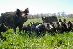 farm animals are raised - more piggies