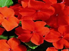 Lavender Blue Accent Impatiens Flower Seeds I Shade Loving Annual 25