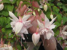 White Fuchsia