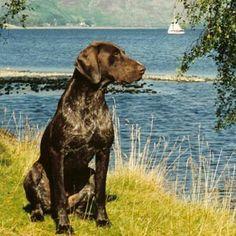 Raças de cães Braco Alemão