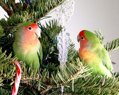 parrots and christmas trees - Google Search