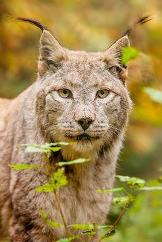 ~~Lynx portrait by Naturfotografie - Stephan Betz~~