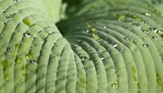 The lines made by the veins of the leaf are parallel quilted together by the structure of the leaf. Cohesive and slightly wavering they make their way down the surface of the leaf.