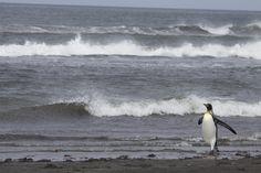 Penguins, Kerguelen Archipelago
