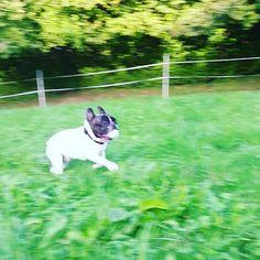 ⚾⚽ Csak ùgy hasít... ⚾⚽ French Bulldog, Dogs, Instagram Posts, Animals, Animales, Animaux, French Bulldog Shedding, Pet Dogs, Bulldog Frances