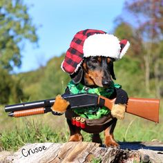 Crusoe, The Worldly Wiener Dog: Further Adventures With The Celebrity Dachshund Dachshund Funny, Dachshund Puppies, Dachshund Love, Funny Dogs, Cute Dogs, Funny Animals, Animals Dog, Dapple Dachshund, Crusoe The Celebrity Dachshund