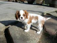 Cavalier Pup.  Make it happen! Let your dog friends meet: http://facebook.com/dogsbook.co