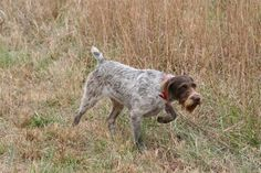 German Wire-haired Pointer (GPW) intensity. They are a wonderful breed of dog, but VERY high energy.  Bred to hunt birds on both land and in the water, they must be kept active. Good partner if you like to run long distance or hike.