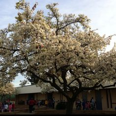 Spring comes early in Ca but it is still beautiful:) 2/2012 Doyle Elementary