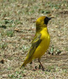 Bird Photos, Birding Sites, Bird Information: MALE SOUTHERN MASKED WEAVER, MARIEVALE BIRD SANCTU...