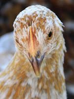 Natural Chicken Keeping: Natural Way to Rid Chickens of Lice & Mites