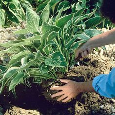 How to Divide Hostas - I do this - I buy one hosta and divide it into three and plant three from one purchased pot. They all grow quickly to look bigger than the original single purchased plant.