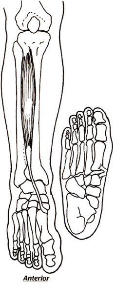 tibialis anterior2