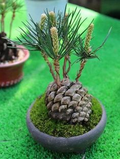 Dishfunctional Designs: DIY Pine Cone Bonsai - How To Make A Pine Cone Bonsai DIY pine cone bonsai. How to create a pine cone bonsai tree. Bonsai Plants, Bonsai Garden, Garden Plants, Indoor Plants, House Plants, Jar Plants, Pine Garden, Indoor Cactus, Cactus Cactus
