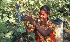 Grape expectations ... picking at Chateau Indage. Photograph: Alamy