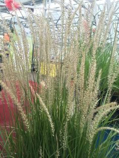 Pennisetum 'Fairy Tales' Would love to do a row of these behind english box in our front yard...