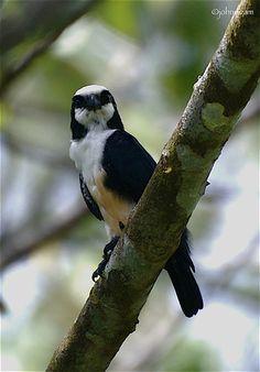 El falconete de Borneo (Microhierax latifrons) es una especie de ave falconiforme de la familia Falconidae. Es endémico de Sabah, en la isla de Borneo. Su hábitat natural son los bosques de las tierras bajas tropicales o subtropicales secas, y tierras de cultivo. Está amenazado por pérdida de hábitat, por lo que se encuentra clasificado como especie casi amenazada en la Lista Roja de la UICN.