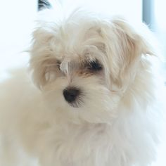 #maltese #puppy #dogs