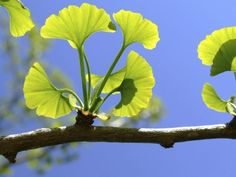 Ginkgo Biloba (Liquid) is a Herb often used in Medicine. Ginkgo has a wide range of uses and can be found in treatments ranging from Alzheimer's Disease, skincare Vitamins For Anxiety, Ginko Tree, Gingko Leaf, Maidenhair Tree, Tree Sale, Stroke Recovery, Herbal Medicine, Bonsai, Health Benefits