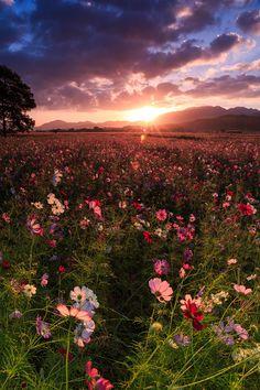 朝日が登る。 くすんでいた花畑が、一気に色を増す瞬間。 美しい朝。コスモス咲く藤原宮跡を訪れました。 (※10月3日撮影) 暗いうちに...